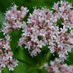 Valeriana: Conheça os benefícios dessa erva que acaba com a ansiedade