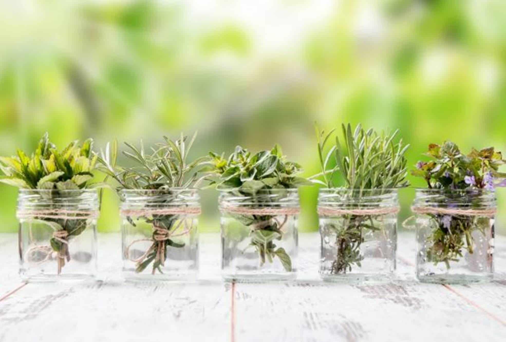 Veja como dez plantas aromáticas podem ser cultivadas na água