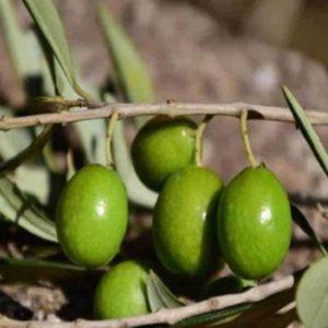 Azeitonas verdinhas com folhas